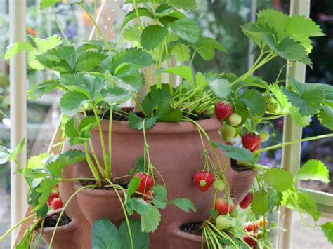 10 Useful Tips For Growing Strawberries In Containers
