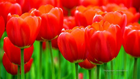 albany tulip festival wallpapers hd wallpapers id