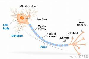 What Is Myelination   With Pictures