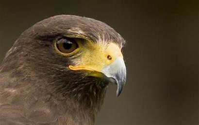 Hawk Wallpapers Hawks Birds Bird Wallpapersafari Animal