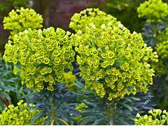 How To Grow Euphorbias  Saga
