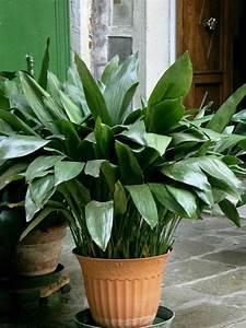 Pflanze Für Dunkle Räume : welche zimmerpflanzen brauchen wenig licht pflanzen ~ A.2002-acura-tl-radio.info Haus und Dekorationen