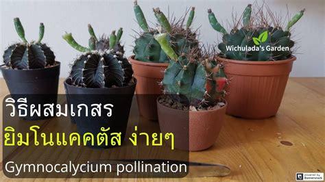 วิธีผสมเกสรแค ค ตั ส ยิม โนให้ติดเยอะๆ How to Pollinate Gymnocalycium? | ปลูกดอกไม้, สูตรทำอาหาร