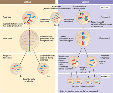 mitosis and meiosis compared biology materials cells