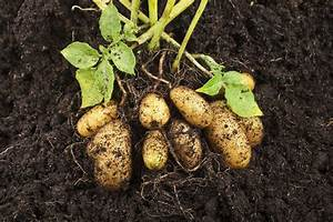 Potatoes For Zone 9