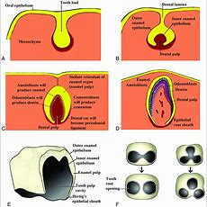 Illustrated Review Of The Embryology And Development Of The Facial Region, Part 2 Late
