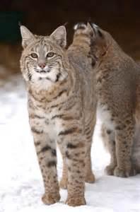 ohio cat bobcat