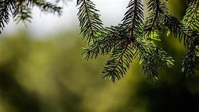 Tree Trees Fir Wallpapers Px Pohon Cemara