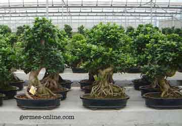 ligustrum   great bonsai
