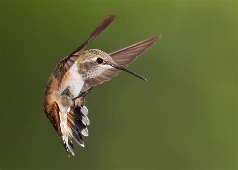 life    hummingbirds hawks aloft