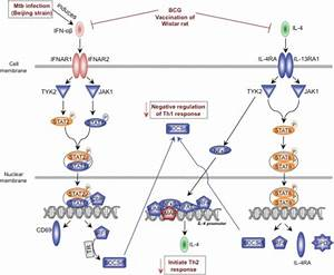 Hypothetical model of the regulation of IFN-αβ and IL   Open-i
