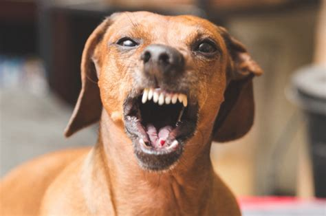 Images Of Wiener Dogs Pack Of Wiener Dogs Mauls To