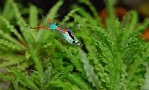 Süßwasserfische Fürs Aquarium : s wasserfische aquarium die wichtigsten informationen ~ Lizthompson.info Haus und Dekorationen