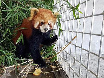 Boten Laos 2018 by Lao Officials Begin Probe Of Red Panda Trafficking Incident