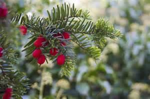 free stock photo winter berries berry christmas free image on pixabay 22183