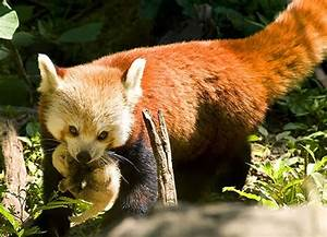 Baby Red Pandas | Interesting Facts & Profile | All ...