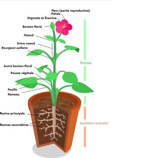fichier sch 233 ma plante fleur png wikip 233 dia