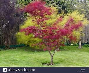 Roter Japanischer Ahorn : roter japanischer ahorn baum acer palmatum 39 atropurpureum 39 blowing in the wind in einem garten ~ Frokenaadalensverden.com Haus und Dekorationen
