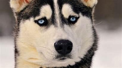 Husky Siberian Eyes Wallpapers Animals Dog Backgrounds