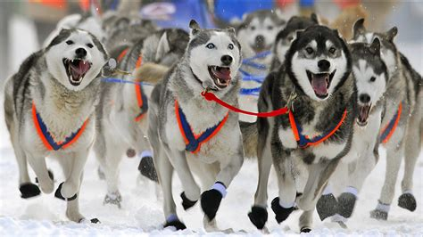 wallpaper  desktop dog race yukon alaska wallpaperscom