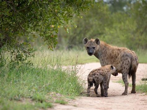 londolozi kruger national park londolozi game reserve