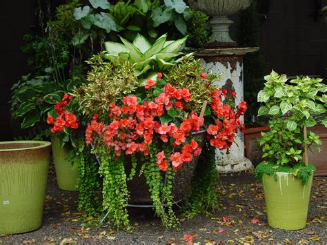 planting begonia tubers in pots container gardening dirt simple