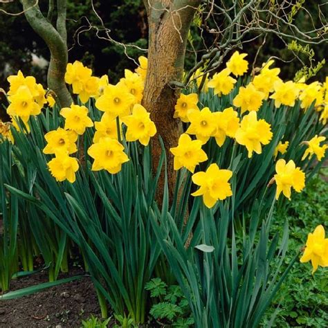 25 best ideas about daffodil bulbs on