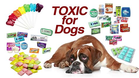 xylitol toxic  dogs youtube