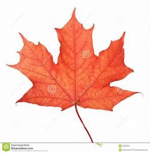 Single Maple Autumn Leaf Stock Photo - Image: 42605813
