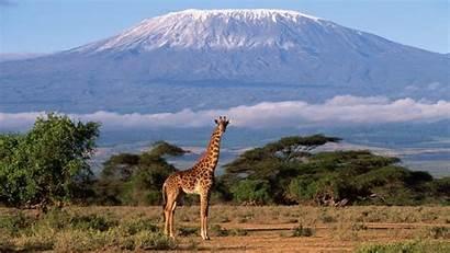 Desktop Background Giraffe Africa Wallpapers 4k Backgrounds