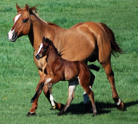 quarter horses young research foal arthritis solution mare additives dietary texas prevent side protect could help suggests