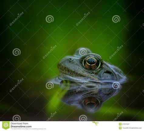 grenouille adulte ziloo fr