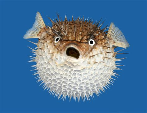 Porcupinefish Photo And Wallpaper. Cute Porcupinefish Pictures