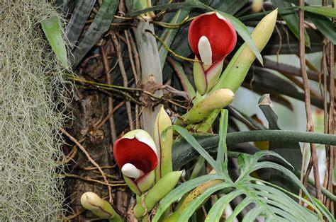 Philodendron Arten Bilder by Bergregenwaldhaus Universit 228 T Ulm