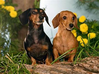 Dachshund Dogs Rocks Dog Wiener Dachshunds Sausage