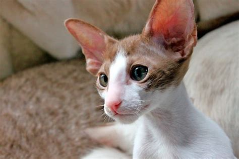 An offensive word or phrase used to degrade a person or group of people based on race, gender, sexual preference, etc. TODO sobre el Gato Oriental de pelo Corto