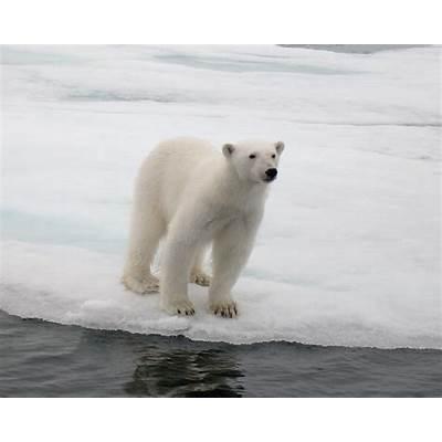 Polar Bear PodcastCitizen Science Quarterly