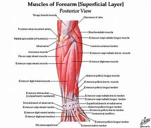 Upper And Lower Limbs Muscles Skeleton Knee Joint Hip Joint Diagrams Free Download