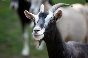 Goats Are Not As Dumb As You Think  Say Scientists