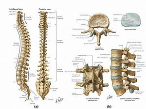 Bony Anatomy Of The  A  Spinal Column And  B  Vertebra