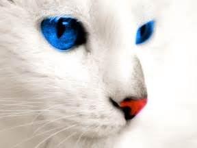 white cat with blue white cat blue breed cats types