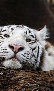 White Tiger HD Wallpaper | Background Image | 3300x2200 ...