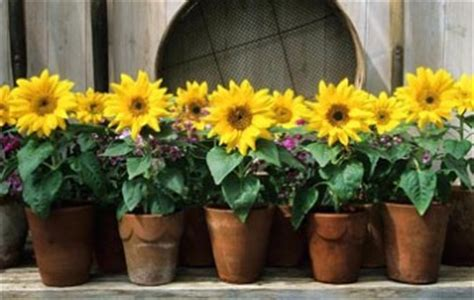 can i grow sunflowers in pots sunflowers