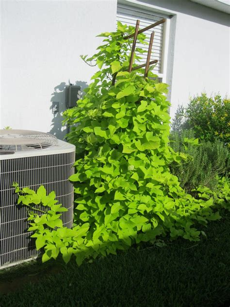 Low Garden Trellis by Low Trellis With Sweet Potato Vine To Cover Cement