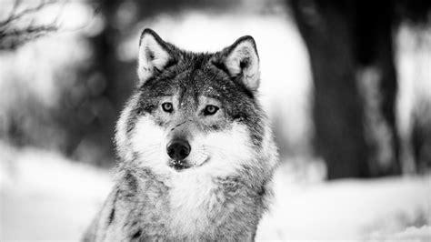 Beautiful Wolf Wallpaper Computer by Wolf Monochrome Photography 4k Ultrahd Wallpaper
