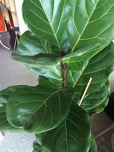 Was Ist Das Für Ein Baum : was ist das f r eine pflanze gummibaum pflanzen baum ~ Buech-reservation.com Haus und Dekorationen