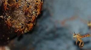 Wie Machen Bienen Honig : stachellose bienen lassen nester von soldatinnen verteidigen honig und bienen ~ Whattoseeinmadrid.com Haus und Dekorationen