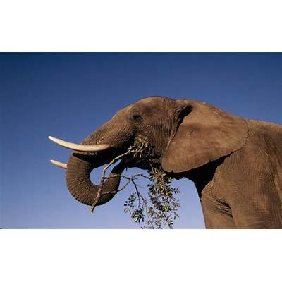 African ElephantSpeciesWWF