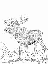 Eurasia Alce Alces sketch template