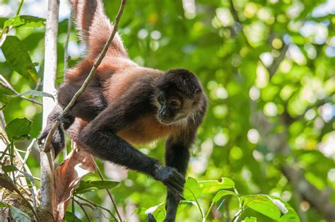 uav monitoring  preserving endangered spider monkeys pixd